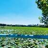 *ハノイの湖【Hồ Tây】にある蓮の池*