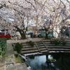 行屋泉の桜