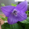 4枚花弁のキキョウと、園芸本購入
