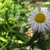 虫除け(特に夏場の蚊よけ)にはローズマリーと蚊連草で・・