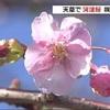 河津桜が咲き始める