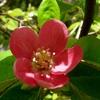 カリンの花 2013 春