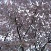 プラハの花・植木2:プラハで桜の花見   [UA-125732310-1]