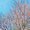 The cherry blossoms are in full bloom!!