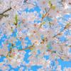 京都/桜をじっと見つめるのは楽しいです。久しぶりの EF100mm F2.8L マクロ IS USM