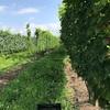 葡萄の収穫へ!