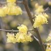 新春がゆらめく蠟梅
