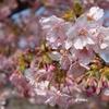 淡い紅色・・・「ああ、春だ」カワヅザクラ鮮やか
