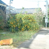 裏の畑のミカンの木
