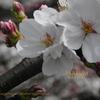 桜満開 新宿御苑 SAKURA