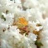 サルスベリの花です。