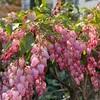 ピンクの馬酔木の花