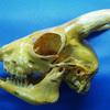 牛の採食行動:歯の構造と草の食べ方