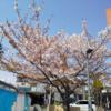 特養秋桜  4月