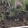 キクイモ収穫はじめ。いい感じ。砂土がいい土になった。