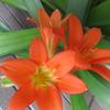 クンシランのお花が咲きました♪