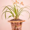 つつましい美しさ日本春蘭:春の蘭展(2)