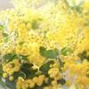 ミモザの日、黄色い声のチコがお届けいたします。