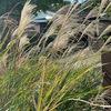 鎌倉の紅葉は?  英勝寺まで足をのばしてみました.駐車場のススキは晩秋の風情でしたが,その奥のイチョウは色づくまで間がありそうです.モミジも見頃となるのは1週間以上は先のように見えます.今,鎌倉英勝寺で咲き誇っているのはサザンカ.白,赤,一重,八重----.そして,ヒイラギ.最も元気な植物は竹.