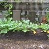 【家庭菜園】大根を収穫しました