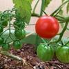 ¥98のプチトマト苗を育てる その2 色づいてきた、収穫だ!