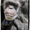 【チンパンジー】②