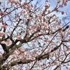 4-333   令和最初の早咲き桜が咲きました!!