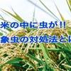 米の中に虫がいた。お米は食べても平気?米屋に聞いた穀象虫の予防策。