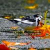 1017【セキレイに食べられるバッタ】カルガモの離水飛翔着水とモズ、カワセミ、スズメ。雨でも水浴び小鳥たち。ムクドリ群れやクロゴキブリも【 #今日撮り野鳥動画まとめ 】 #身近な生き物語