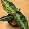 アグラオネマを常湿で栽培しています!!