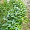 初めての不耕起栽培で枝豆はどうなったか?