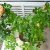 「エドゥアール・マネ」の二番花