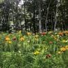 白馬岩岳ゆり園に行ってきたよ。ちょうど咲き始め。