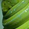 ミドリニシキヘビ Morelia viridis