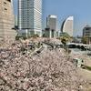 2021年も横浜桜木町周辺の桜はキレイでしたよ!