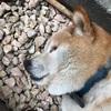 愛犬りょう 22