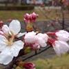 2017/3/31 雨桜