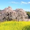 日本三大桜のひとつを鑑賞