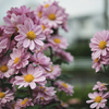 菊が咲く時期になってきました。