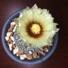 兜丸の開花は素直に嬉しいです