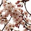 待望の桜が咲いた