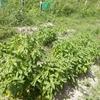 田んぼのバジル収穫
