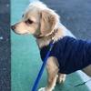 犬の幼稚園通学3日目・最近散歩で歩かなくなってしまったけど犬の幼稚園ではどうだった?