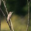 🦜野鳥の回【164】オオヨシキリ(大葦切)を撮りに行く