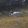 """河口でもないのに""""セグロカモメ""""に遭遇‼ Nikon「COOLPIX P900」で野鳥撮影《第5回目》"""