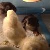スーパーのニワトリの卵を温めて孵した記録3。第4子誕生