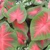 カラフルな葉模様の観葉植物