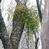 ヤドリギ Viscum album ssp. coloratum