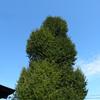 【写真加工】大きな木(イチョウ)を合成する2