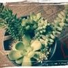 植木鉢のグリーンたち